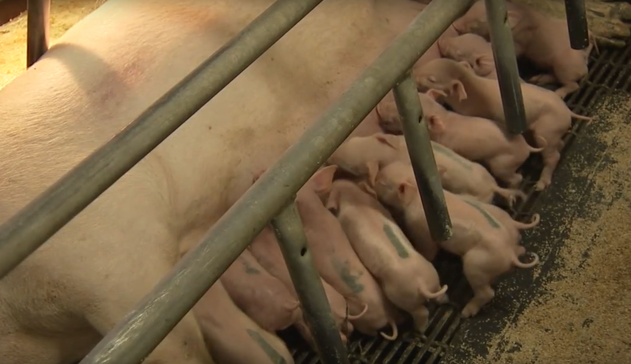 A Look Into Modern Hog Production – Wakefield Pork, MN